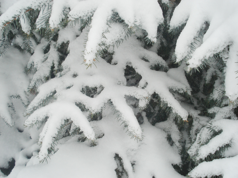 Snow_on_evergreens